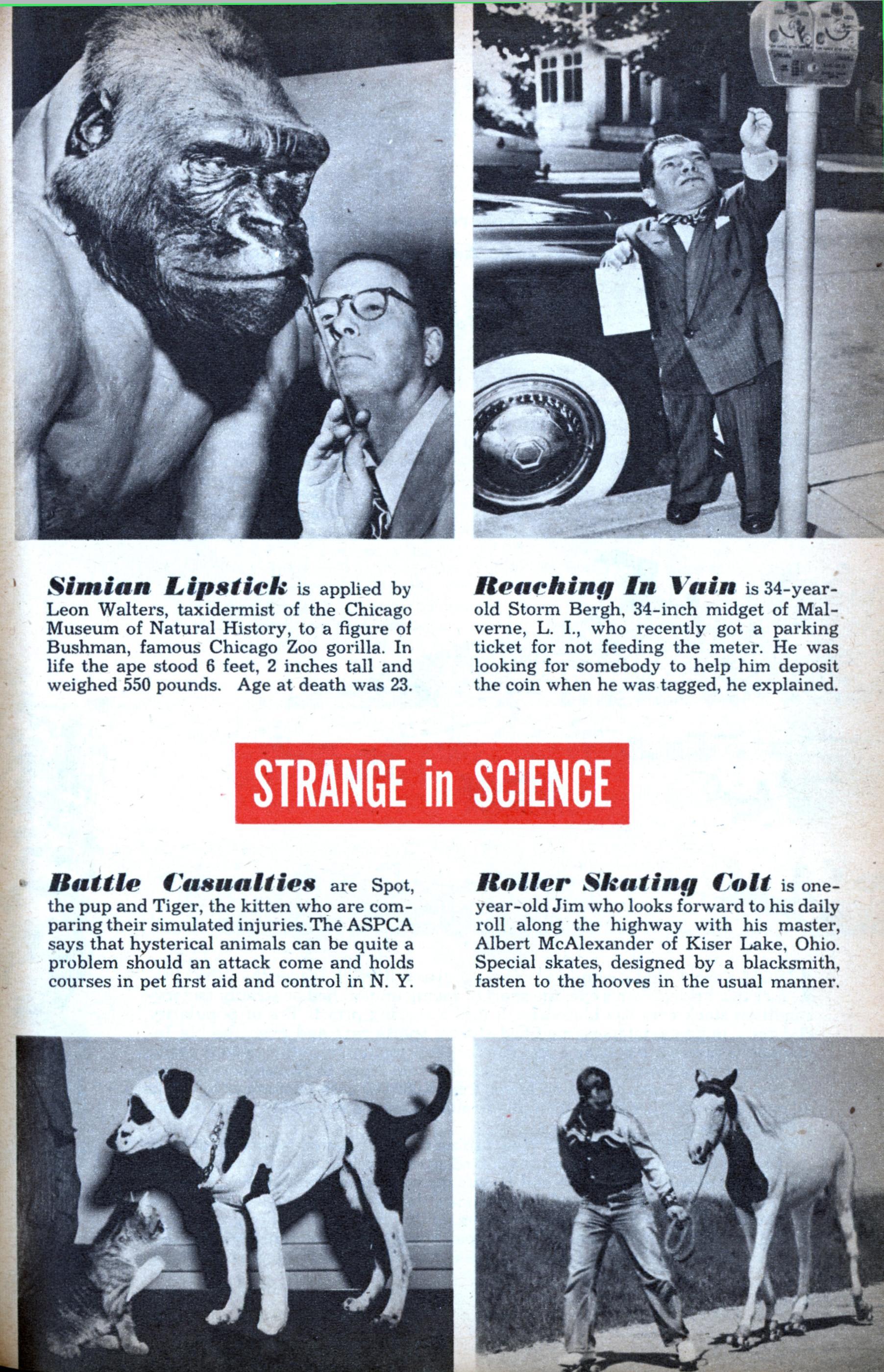 Post Card - 1940s Photo of Bushman the Gorilla at Lincoln ...  |Bushman Gorilla Death
